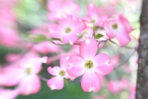 Dogwood with Lens-baby