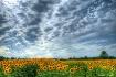 Sunflowers Meet S...