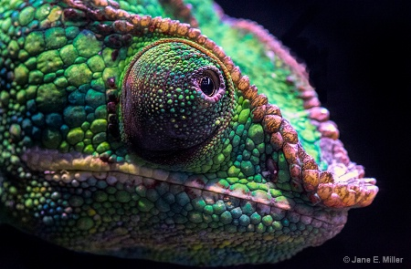 Chameleon of Many Colors