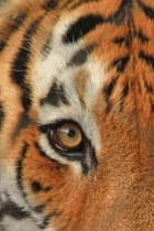 eye of the tiger verticle