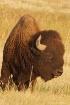 Buffalo Right