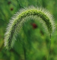 Bristle Grass Seed Head