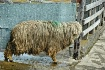Wet Wool