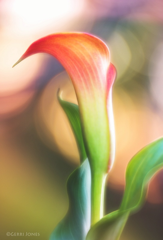 Calla Lily in Setting Sun