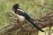 Magpie in the Pin...