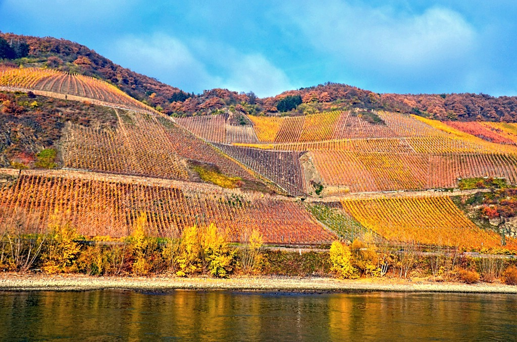 Fall Vineyards on The Rhine