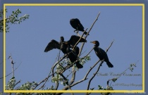 Double Crested Coromonts - Treed