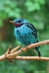Spangled Cotinga ...
