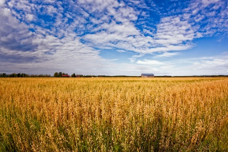 Golden Oat Fields