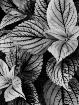 Coleus Leaves