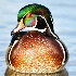 2Wood duck - ID: 15459913 © Sherry Karr Adkins
