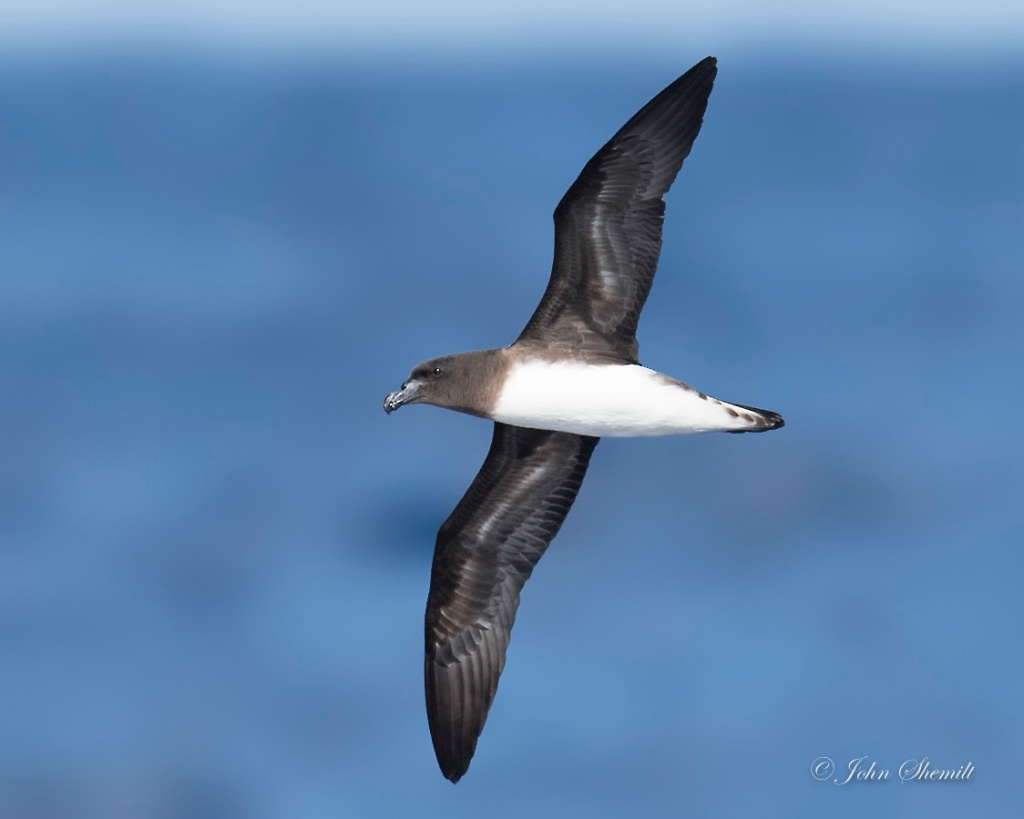 Tahiti Petrel - May 25th, 2017 - ID: 15459987 © John Shemilt