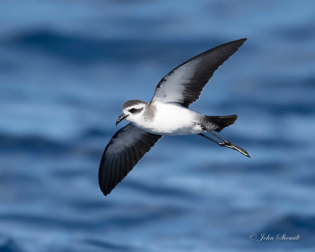 White-faced Storm-petrel - May 25th, 2017 - ID: 15460021 © John Shemilt