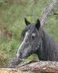 Wild Mustang Posi...