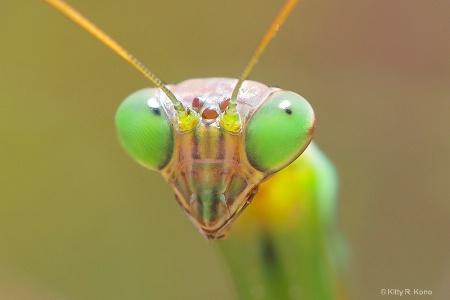 Portrait of the Praying Mantis