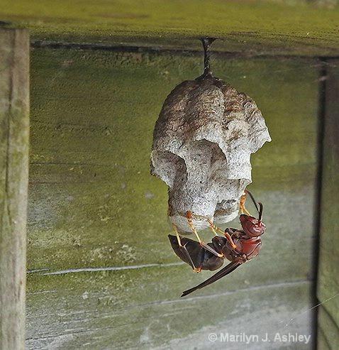 Red Wasp on Nest Cullinan Park, Sugar Land - ID: 15460794 © Marilyn J. Ashley