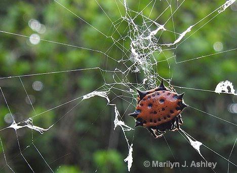 Male SpinyBacked Orb Weaver - ID: 15460795 © Marilyn J. Ashley