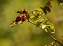 Dogwood Berries