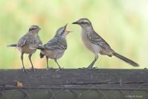 Mockingbird and Chicks