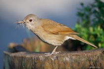 Pale Breasted Thrush