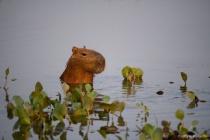 Capybara in the Marsh