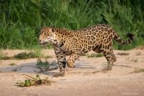 Jaguar with Raised Foot