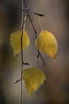 Autumn leaves: Birch