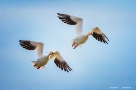 Snow Geese in Sync