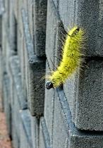 Rock Climber Caterpillar
