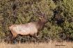 Elk 5866