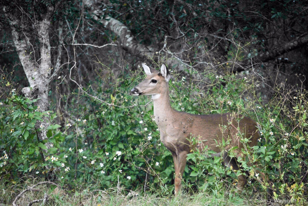 Whitetail Attention