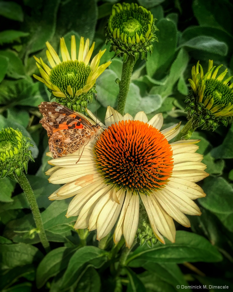 ~ ~ CONE FLOWER VISITOR ~ ~