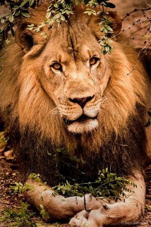 Posing Male Lion 9-16-17 575