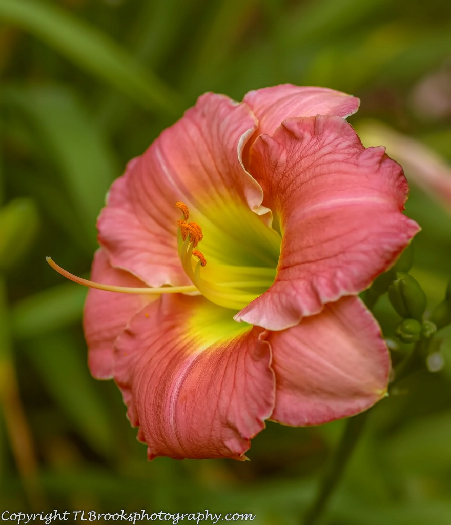 Perennial Daylily Rose Emily 2
