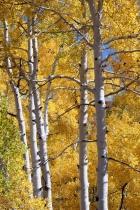 Golden, glistening aspens