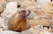 Marmot Hollers