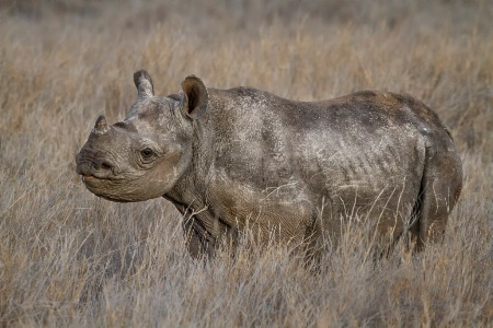 Rough Baby Rhino  5642