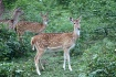 Spotted deers...