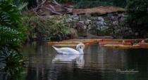 1 Swan Swimming