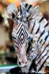 Silver Zebra