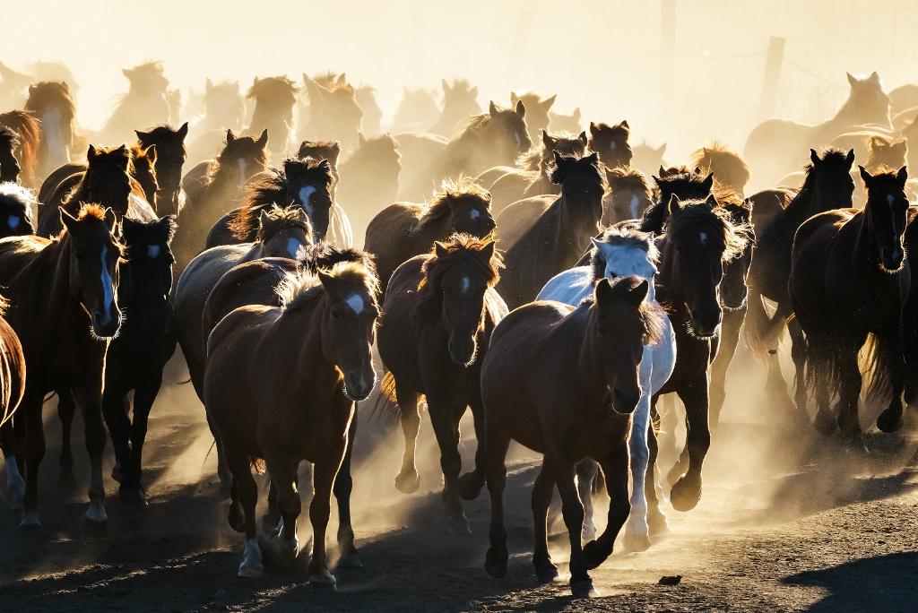 Farm horses in inner mongolia