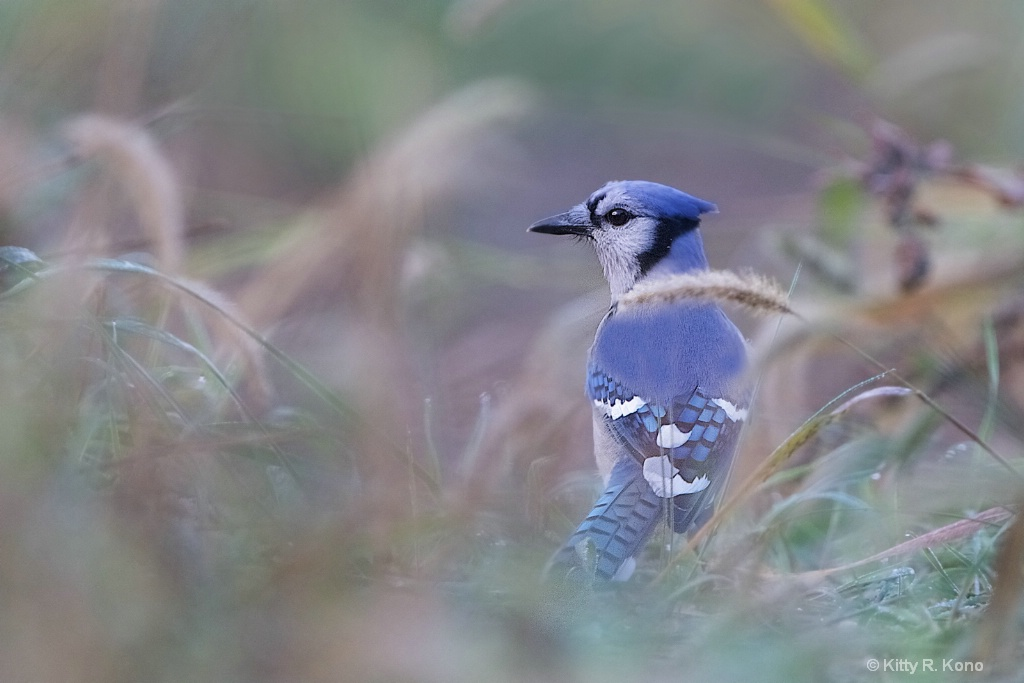 Blue Jay in the Rough
