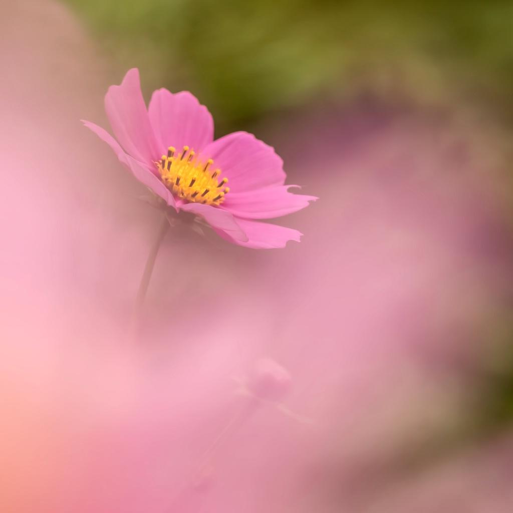 Pink Cosmos--shooting through
