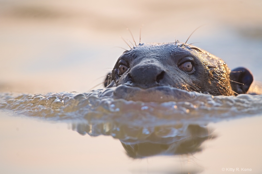 The River Otter  - ID: 15485335 © Kitty R. Kono
