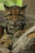 Clouded Leopard K...