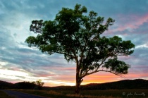A Stringy Bark Gum Tree