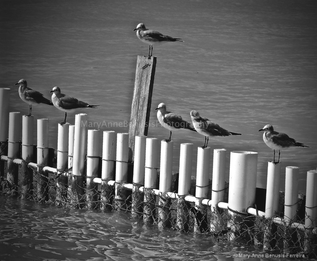 B/W Cancun Seagulls  - ID: 15487689 © Mary-Anne Benusis