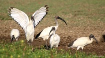 Sacred Ibis Conveying Blessings