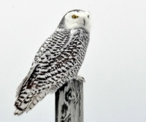 The female Snowy Owl