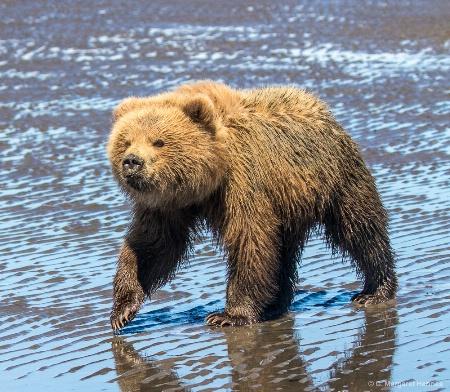 Bear on the Move